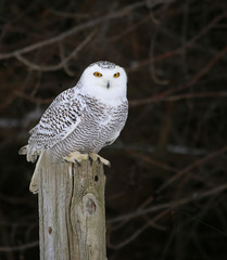 Wall Mural - Snowy Owl on a Post