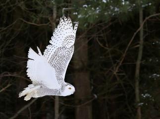 Fotoväggar - A Snowy Owl (Bubo scandiacus)