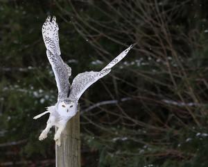 Fotobehang - Snowy Owl Take-off