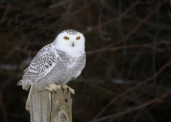 Fotoväggar - Stationary Snowy Owl