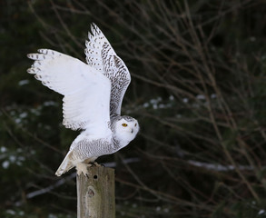 Wall Mural - Snowy Owl Flapping it's Wings