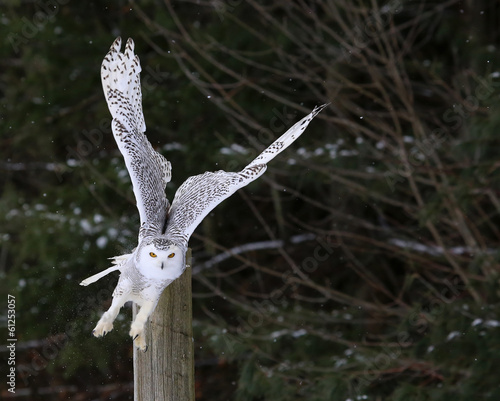 Fotomurales Snowy Owl Take-off