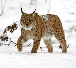 Photo sur Aluminium Lynx winter Lynx