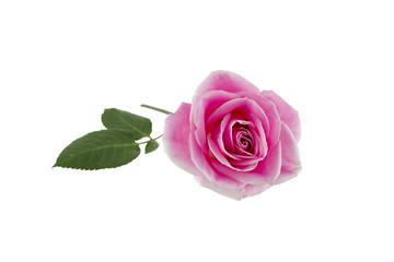 Single Pink Rose on White