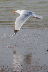 seagull lifting off at sea