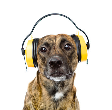 dog with headphones for ear protection from noise. isolated