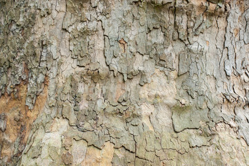 Sycamore tree bark closeup for the background image.