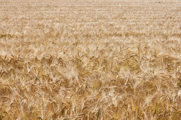Golden wheat field for the background image.