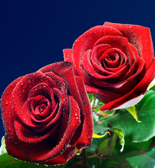 Red roses dew