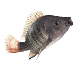 nile fish jumping isolated white background use for nature anima