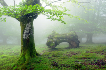 Wall Mural - forest with fog in spring and dead trunk