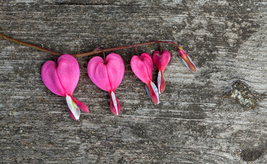 bleeding heart flower on wooden background