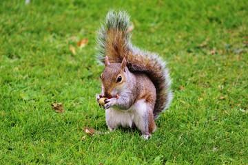 Écureuil à St James Park (UK)