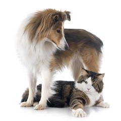 Fototapete - shetland dog ans maine coon cat