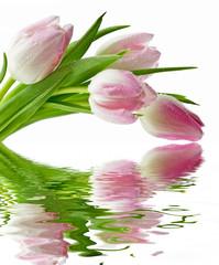 Obraz Tulipany na białym tle - fototapety do salonu