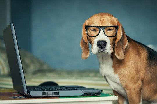 Sleepy beagle dog in funny glasses near laptop