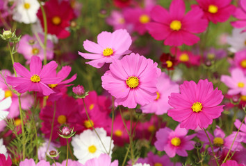 Photo Blinds Pink beautiful cosmos flower