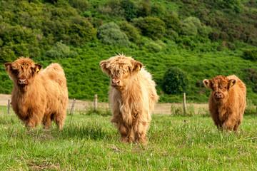 Scotland Angus cattle