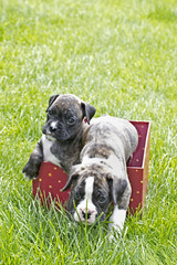 Two brindle striped Boxer puppies playing in a red party box