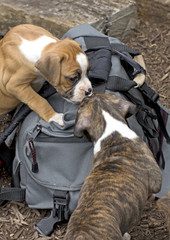 Two Boxer puppies playing on a gray backpack