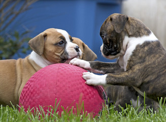Several Boxer puppies playing with a big red rubber ball