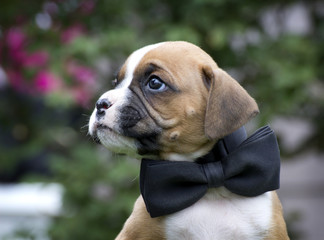 Tan and white Boxer puppy wearing formal black bow tie