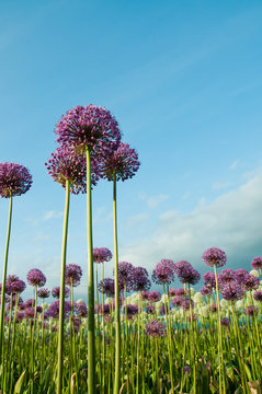 Allium Flowers Reaching Up into Blue Sky Vertical