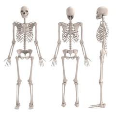 realistic 3d render of male skeleton