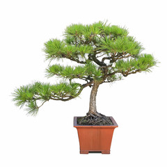 green bonsai pine tree