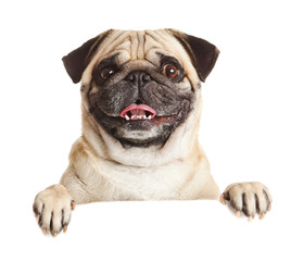 Pug Dog with blank billboard. Dog above banner or sign. Pug dog
