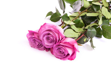 Three fresh pink roses over white background
