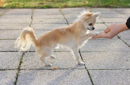 Longhair chihuahua touching a man's hand