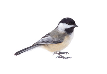 Black-capped Chickadee, Poecile atricapilla, Isolated