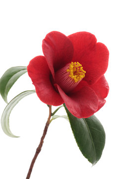 Kurostubaki, black red camellia isolated on white background
