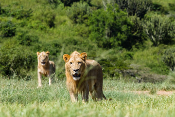 Young Male Lions Aggressive