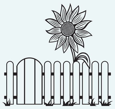 Sunflower and fence isolated on blue batskground