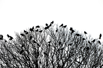 silhouette of many birds on a treetop - black and white shot