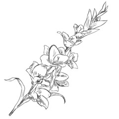 Vector Sketch Illustration - gladiuolus