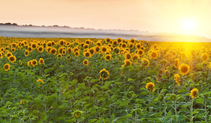 sunflower field on sunset