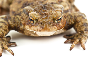 ugly toad on white