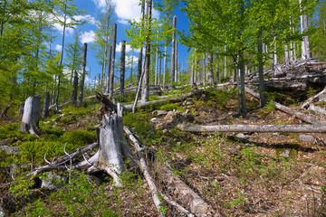 Fotomurales - Nationalpark Bayerischer Wald, Lusen, Waldsterben, Walderneuerun