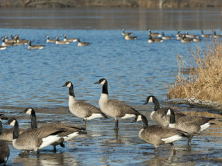 Fototapete - Flock of geese on a cold winter day