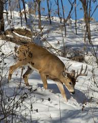 Fototapete - Deer in the winter