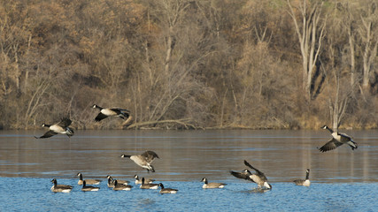 Flock of Geese landing in a small lake