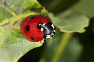 7-Spot ladybug, Coccinella septempunctata on leaf, macro photo