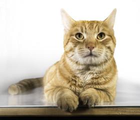 Orange color cat
