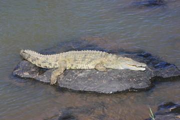 ccoccodrillo rettile predatore fiume savana sudafrica