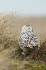 Photo Blinds Owl Snowy owl