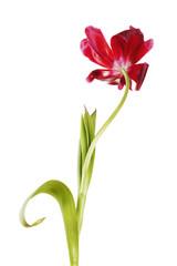 slack tulip