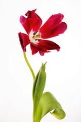 listless tulip